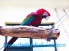 Greenwing Macaw Parrots Perched on Log