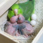 Parrotlet with chicks and eggs