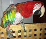 Adopted handicapped greenwing macaw hen