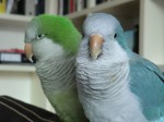 zinc poisoning through parrot cage