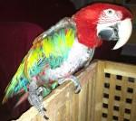 Lilah Love - Greenwing Macaw Hen Succumbs to my Avances