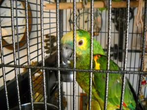 Cages may be a source of zinc and other toxic substances, dangerous to our parrots