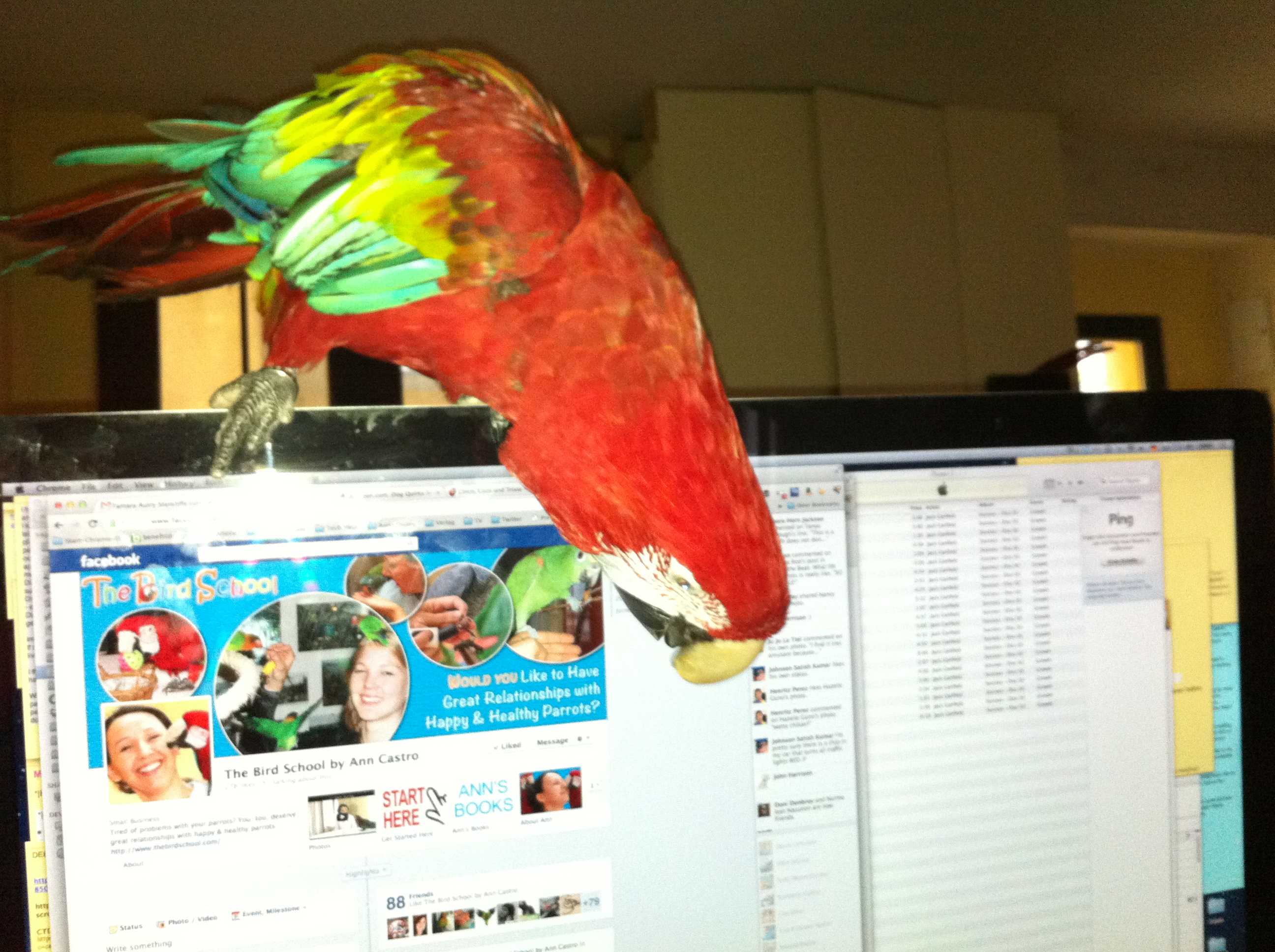 Greenwing macaw Lizzie playing not training