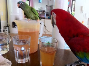 Greenwing macaw and Blue Crowned Conure Drink Lemonade