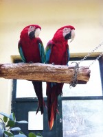 Greenwing Macaws Join Flock in the Bird Hall