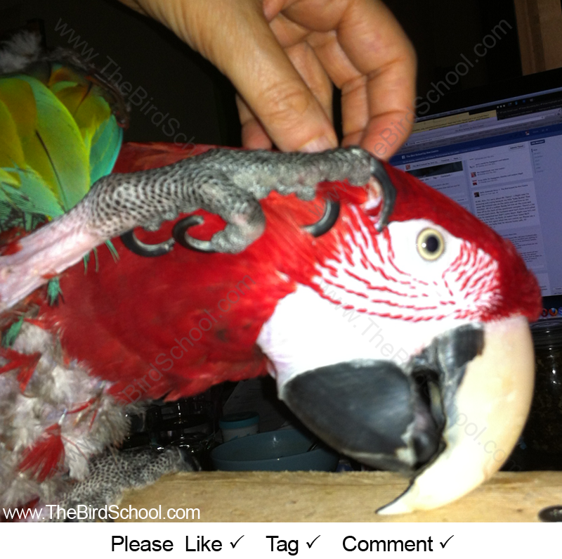 Handicapped Greenwing Macaw Soliciting Scritches