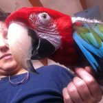 Parrot Training & Taming Tipps With Lailah The Handicapped Greenwing Macaw
