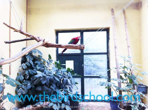 Greenwing Macaw Parrots