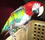 Lilah Love - Greenwing Macaw Hen Succumbs to my Avances